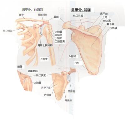 体の使い方② (肩甲骨) | あき鍼灸院 ブログ | 鍼灸 頭蓋矯正 ...