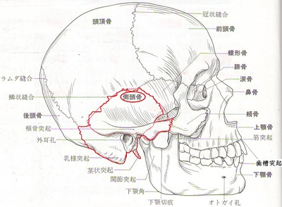 側頭骨.JPG